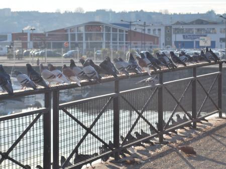 les pigeons du port..